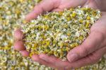 カモミールジャーマン   Matricaria chamomilla L