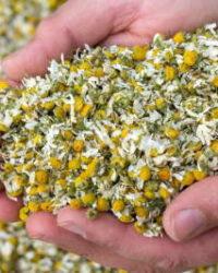 カモミールジャーマン | Matricaria chamomilla L